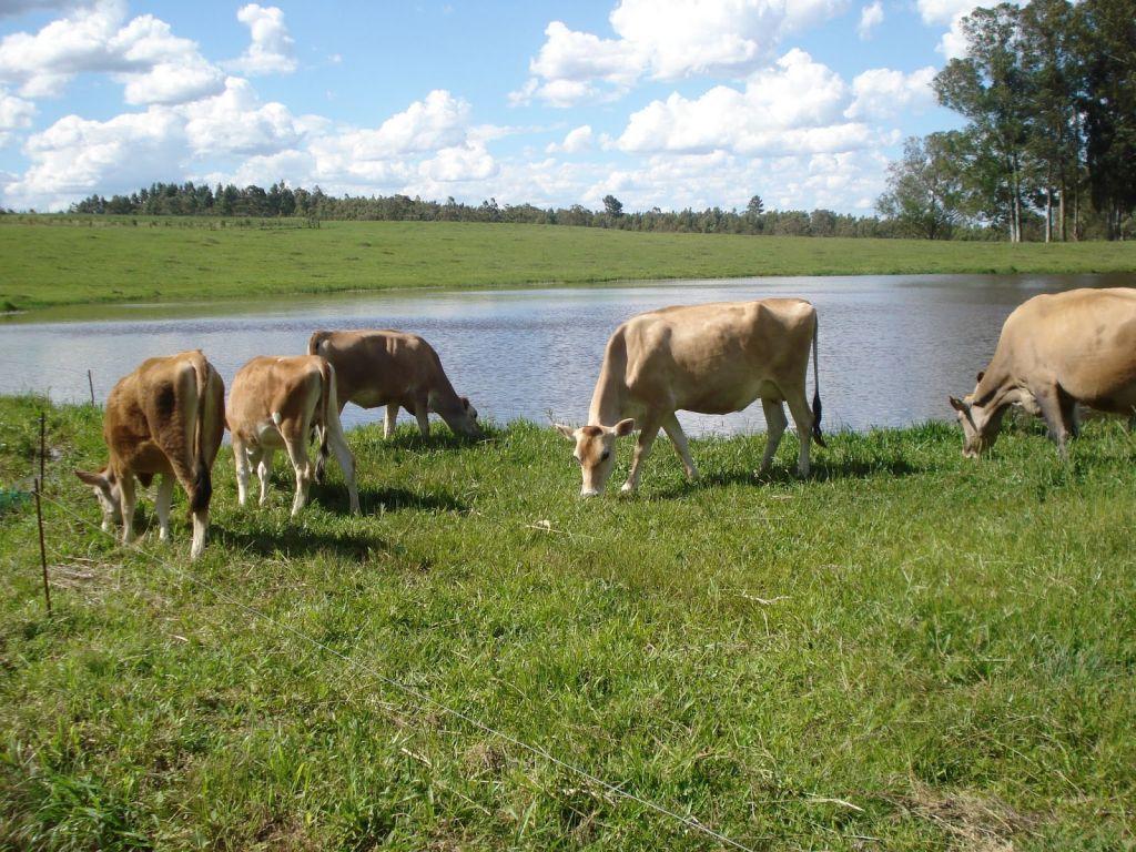 animais_vacas_producao