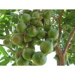 Nozes Macadamia